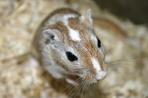 tyzzer's disease in gerbils treatment