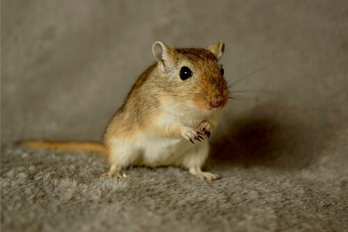 what does it mean when a gerbil stomps its feet?