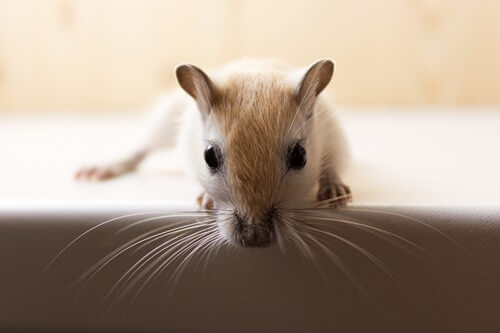 what is wet tail in gerbils?