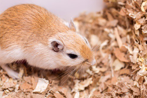 what's the biggest gerbil ever?