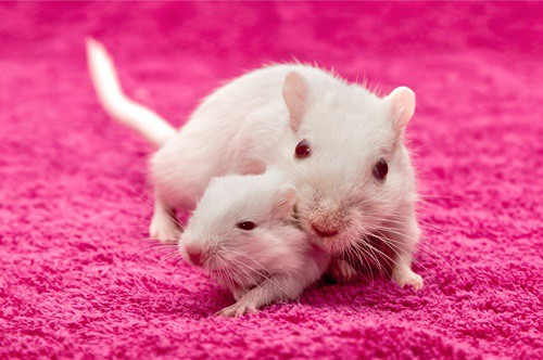 when to separate baby gerbils from mother