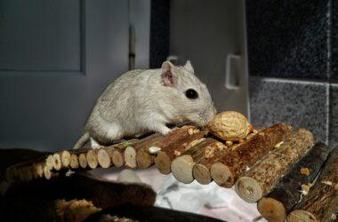 why do gerbils bury their food?