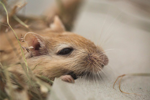 why do gerbils eat their own poop?