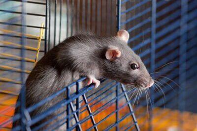 Can Gerbils and Rats Get Along?