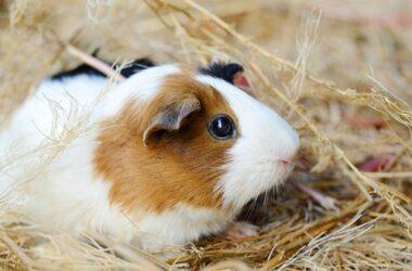 Do Gerbils Get Along with Guinea Pigs?