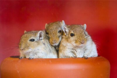 are gerbils noisy?