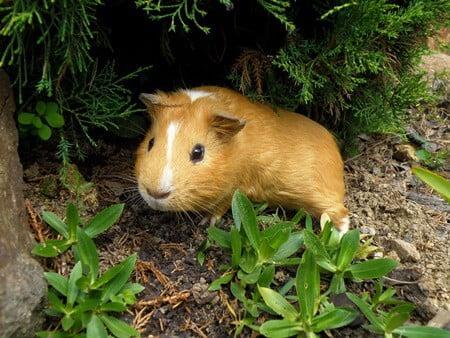 are guinea pigs scared of gerbils?