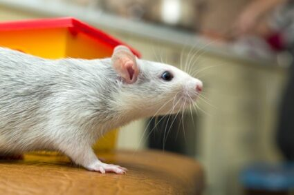 can gerbils and rats live together?