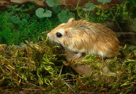 can gerbils be kept outside?