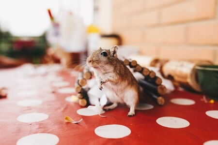 can gerbils change sexes?