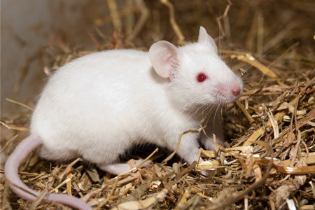can gerbils mate with mice?