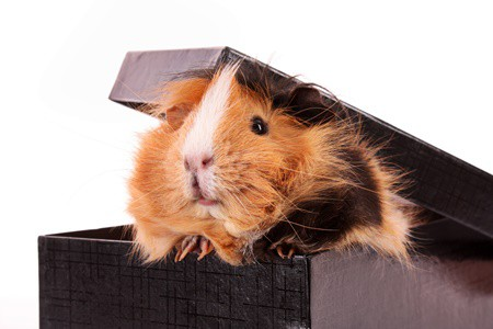 can guinea pigs and gerbils play together?