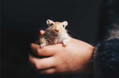 common gerbil health problems