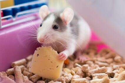 difference between gerbils and rats