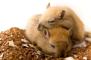 do gerbils sleep together?