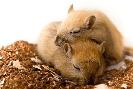 do gerbils sleep together?