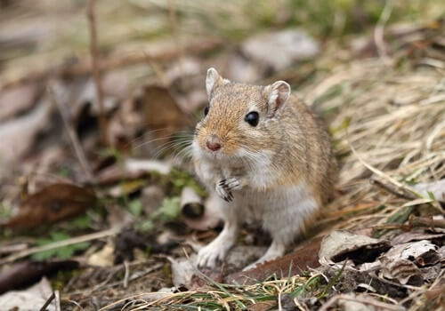 facts about wild gerbils