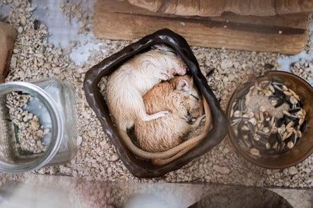 gerbil sleeping positions