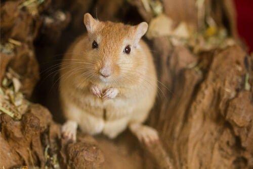 weird facts about gerbils