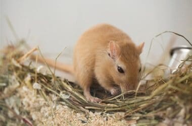why do gerbils chirp?