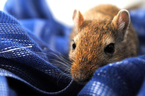 why does my gerbil nibble me?