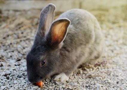 Do Gerbils and Rabbits Get Along?
