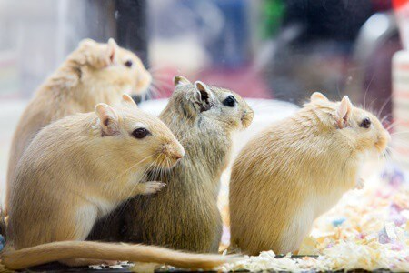 How Do I Know My Gerbil is Pregnant?