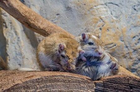 gerbil breeding information