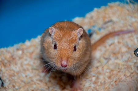 how to choose a gerbil