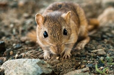 how well can gerbils see?