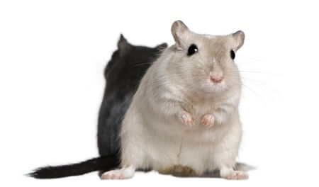 one gerbil bigger than other
