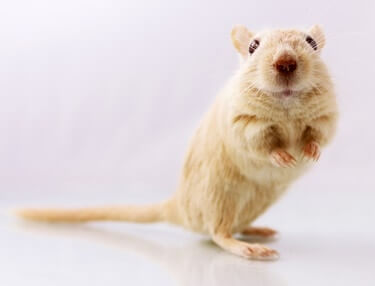 signs your gerbil is pregnant