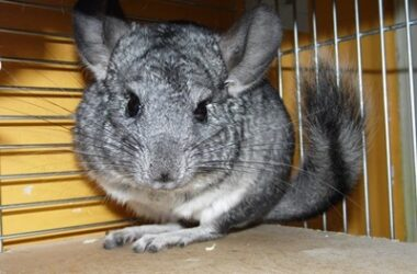 chinchillas and gerbils as pets