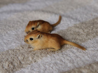 how to breed gerbils