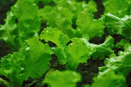 Can Gerbils Eat Wild Lettuce?