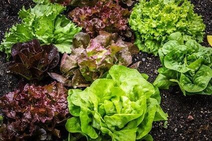 Is Lettuce Bad for Gerbils?