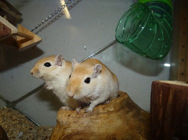 gerbils squeaking while grooming