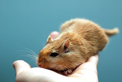 how to prevent red nose in gerbils