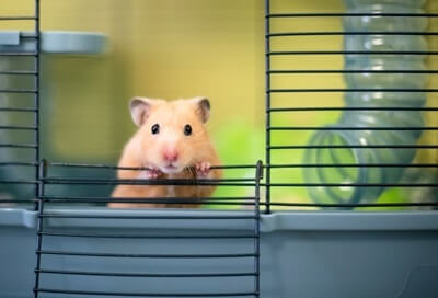 How Long Do Hamsters Live in captivity?