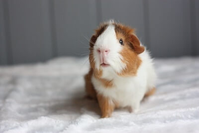 How Long Do guinea pigs live for on average?