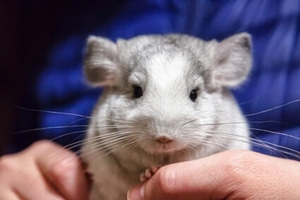 are chinchillas loving pets?