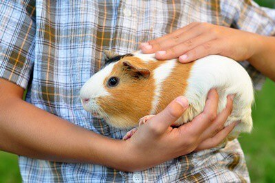 are guinea pigs loving pets?