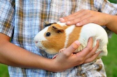 are guinea pigs loving pets?