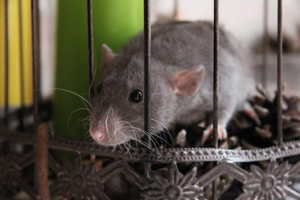 how long do pet rodents live?