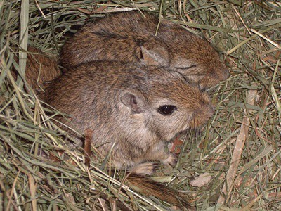 how many male gerbils can live together?