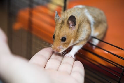 least stinky rodent pet