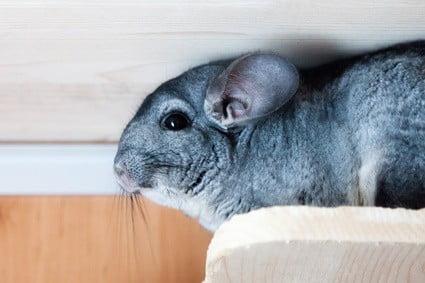 longest living rodent pet