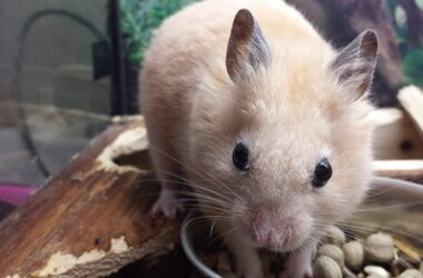 pet rodent with longest lifespan