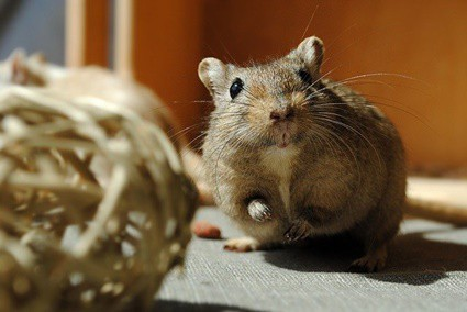 what's the most intelligent rodent?