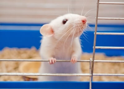 which rodents smell the least?